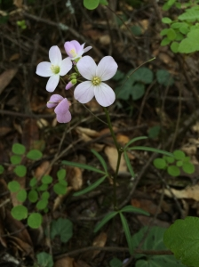 Cardamine_californica