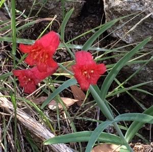 Fritillaria_recurva_2