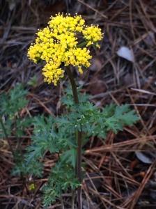 Lomatium_parvifolium