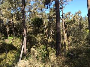 Monterey_pine_forest_1