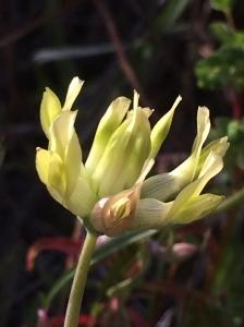 Trifolium_fucatum