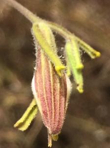 Cordylanthus_pilosus_pilosus