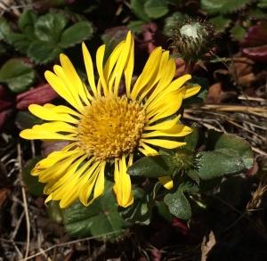 Grindelia_stricta_platyphylla
