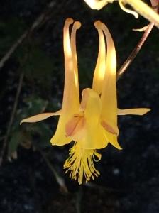 Aquilegia_pubescens