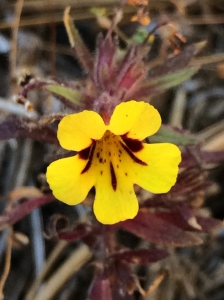 Mimulus_whitneyi_yellow