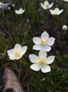 Parnassia_palustris