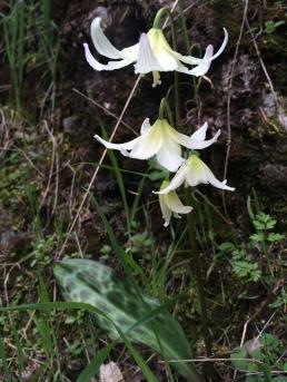 Erythronium_californicum