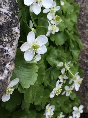 Ranunculus_hystriculus
