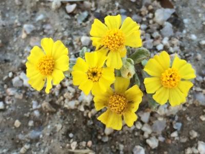aster_Eriophyllum_wallacei