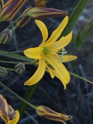 Bloomeria_crocea
