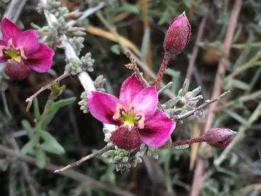 bush_Krameria_erecta