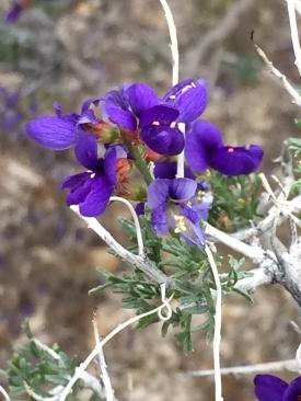 bush_Psorothamnus_arborescens