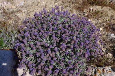 bush_Salvia_dorrii