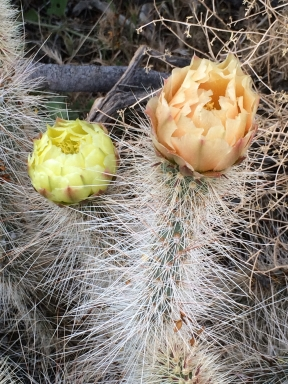 cactus_Opuntia_polyacantha