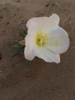 misc_Oenothera_californica