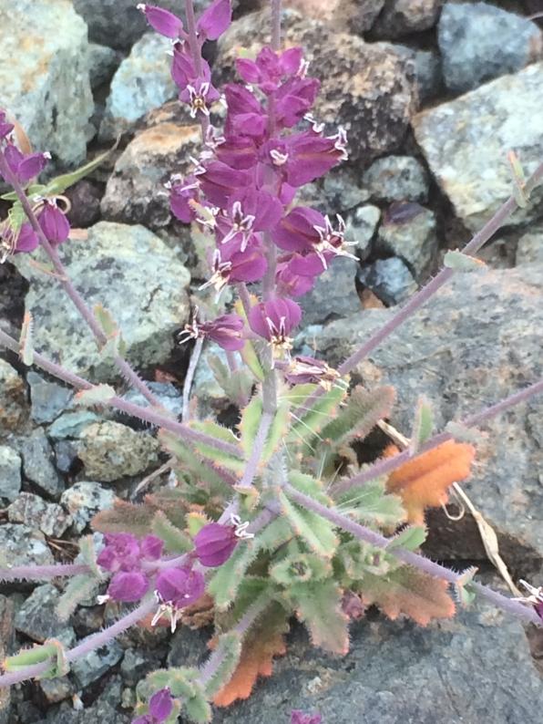 Streptanthus_glandulosus_pulchellus_2