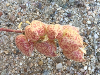 Asragalus_lentiginosus_nigricalycis_fruits