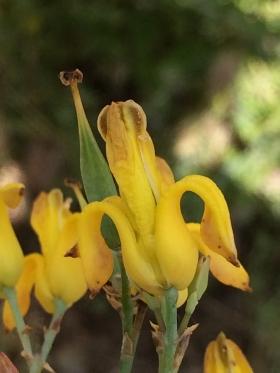 Ehrendorferia_chrysantha