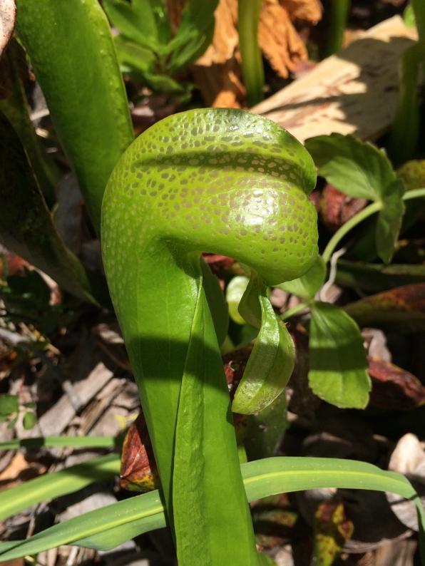 !Darlingtonia_californica_lf