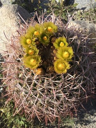 ferocactus_cylindraceus