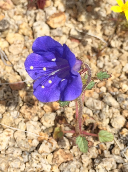 Phacelia_campanularia