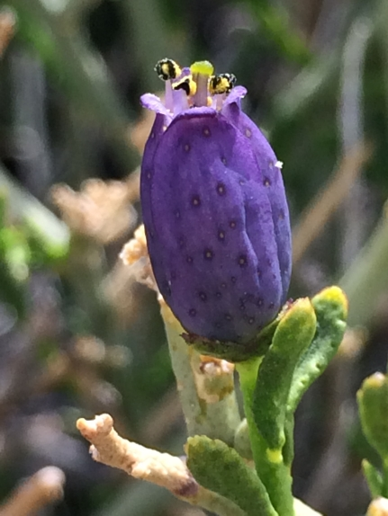 Thamnosoma_montana