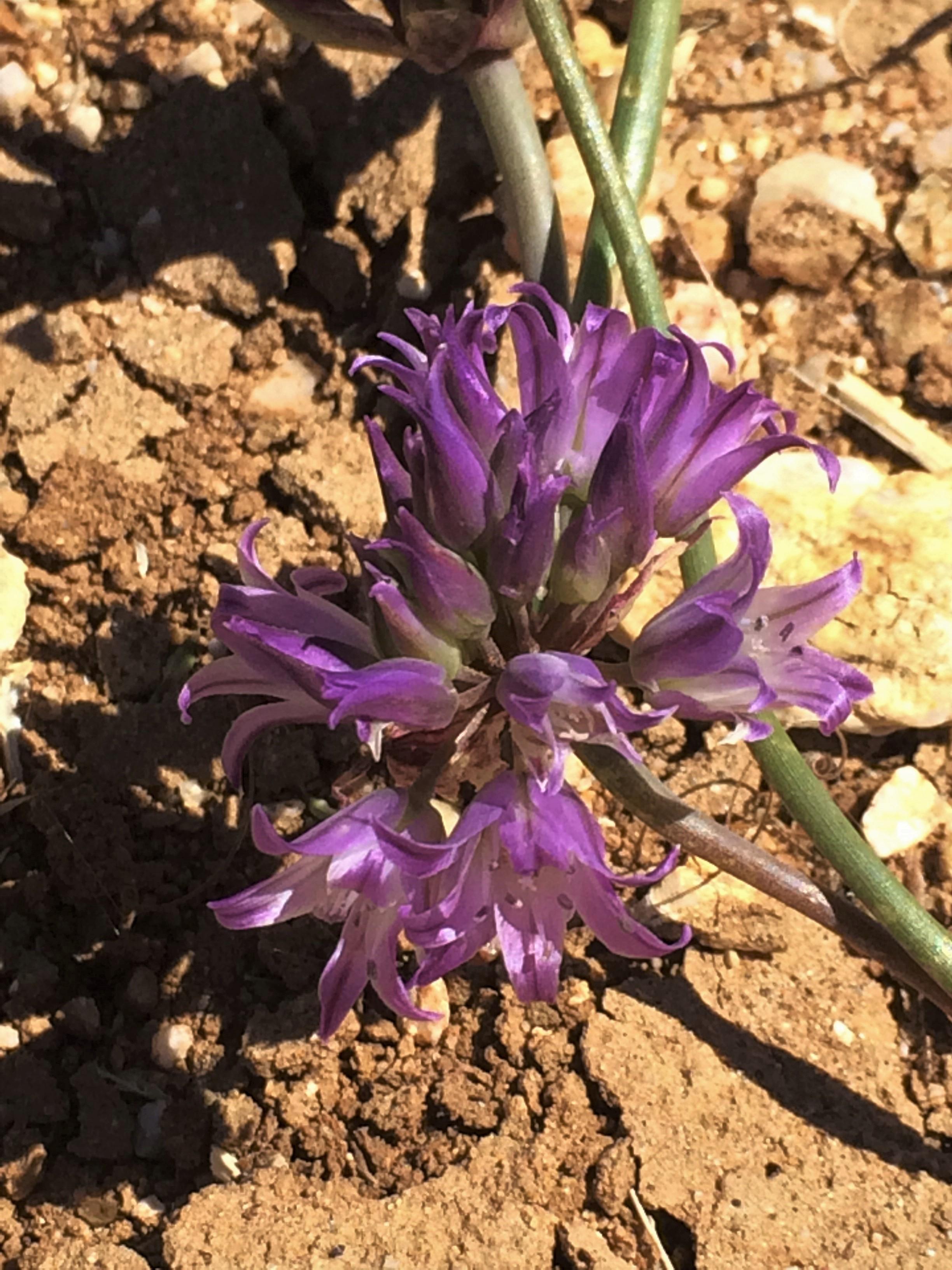 Allium_fimbriatum
