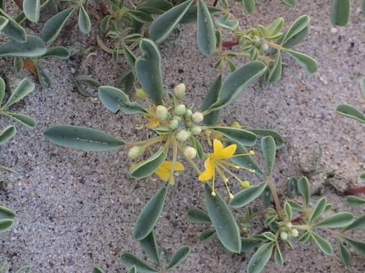 Cleomella_obtusifolia