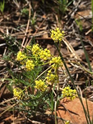 Lomatium_congdonii