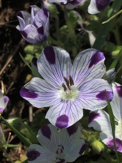 Nemophila_maculata_2