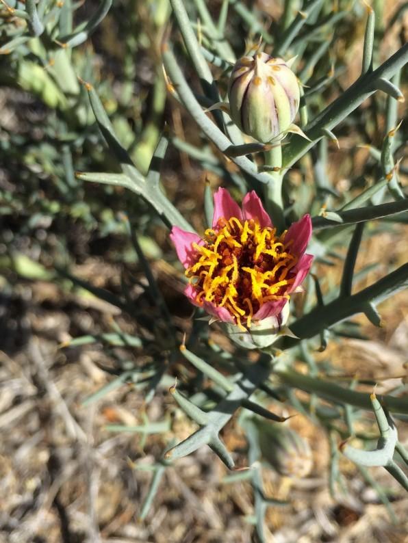 Nicolletia_occidentalis