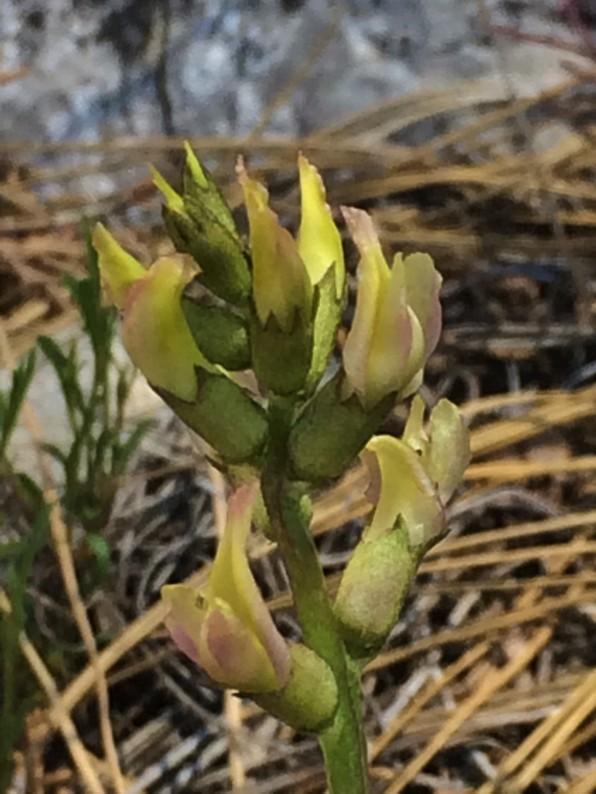 Astragalus_bicristatus_1
