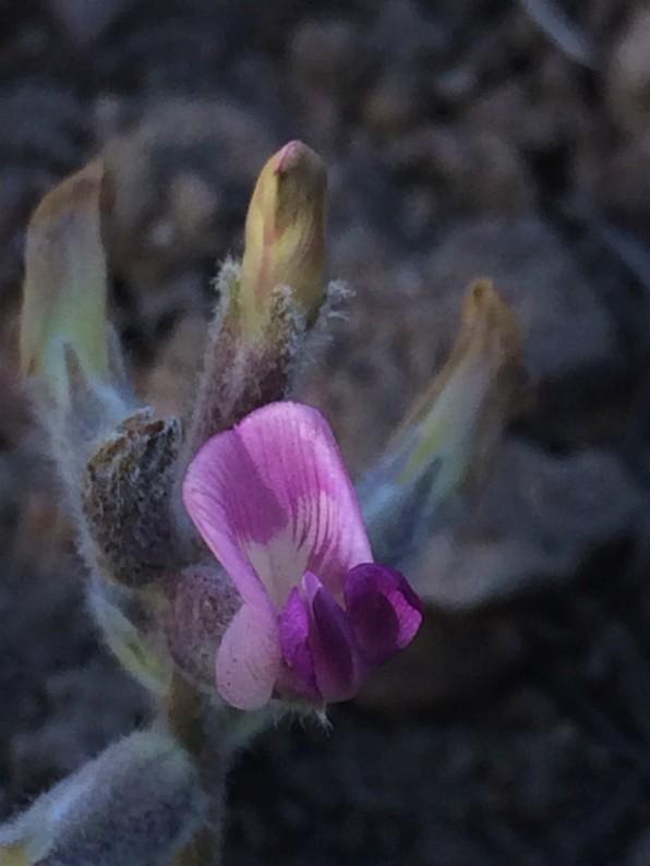 Astragalus_leucolobus_3