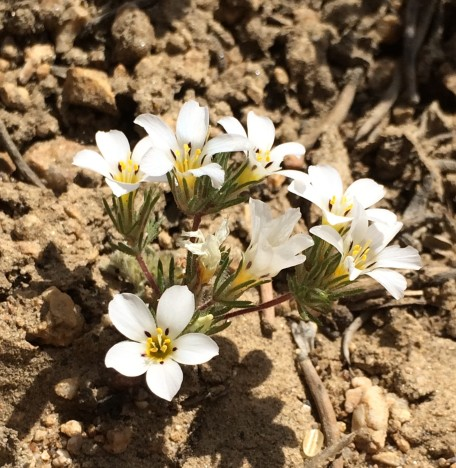 Linanthus_killipii_1