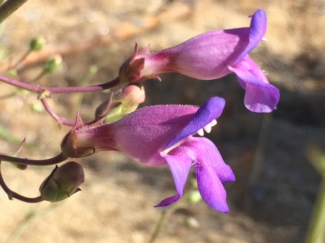 Penstemon_incertus