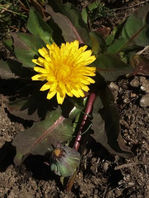 Taraxacum_californicum