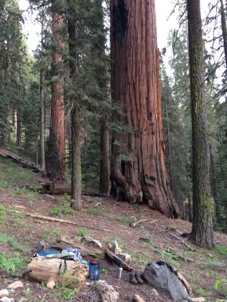 Sequoiadendron_giganteum
