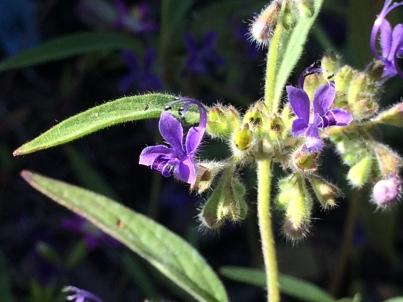 Trichostema_laxum_purple