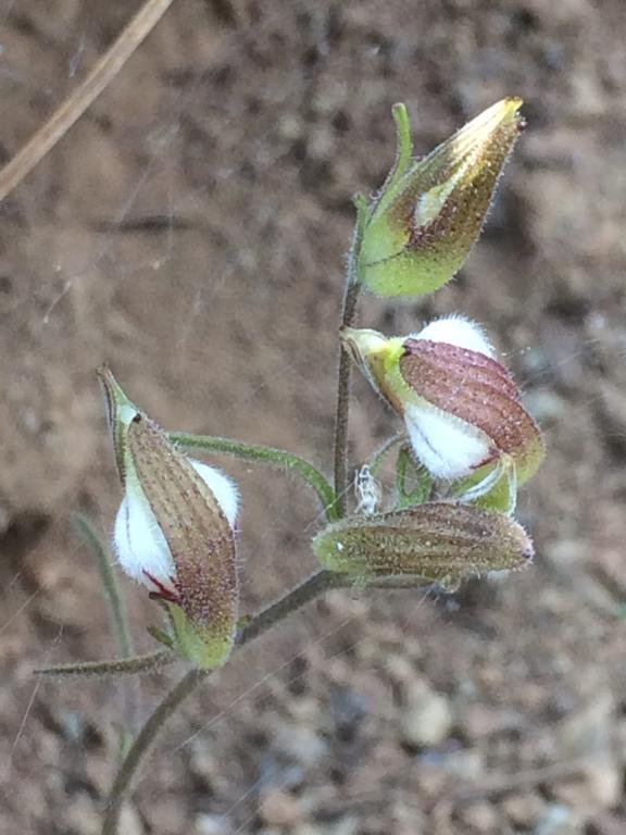 Cordylanthus_tenuis