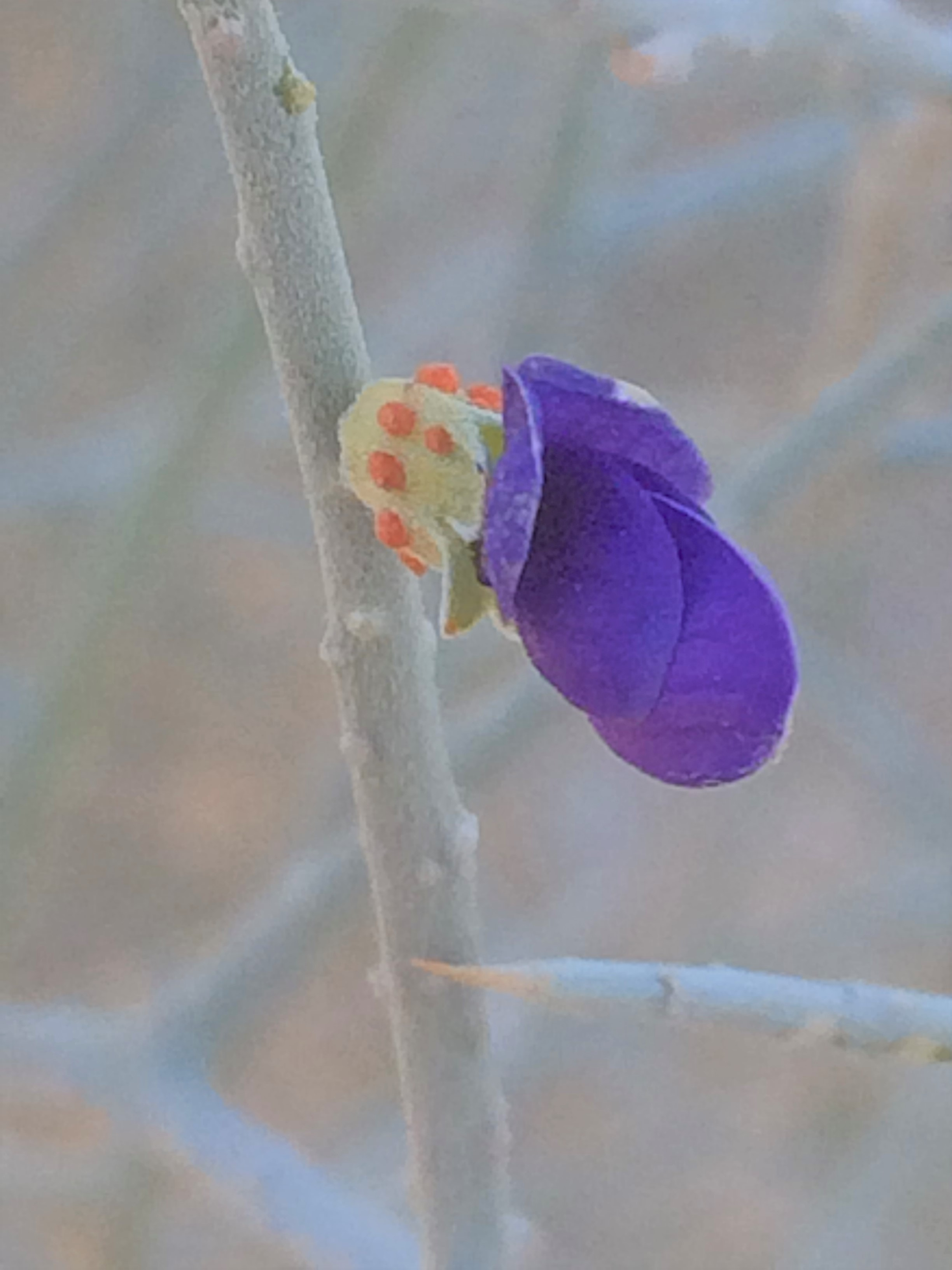 Psorothamnus_spinosus