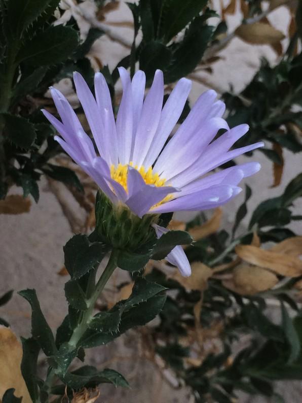 Xylorhiza_orcuttii_2
