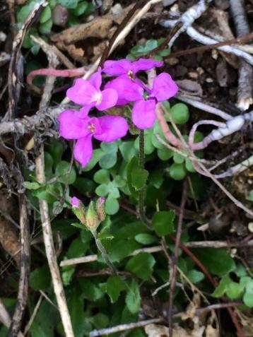 2Arabis_blepharophylla
