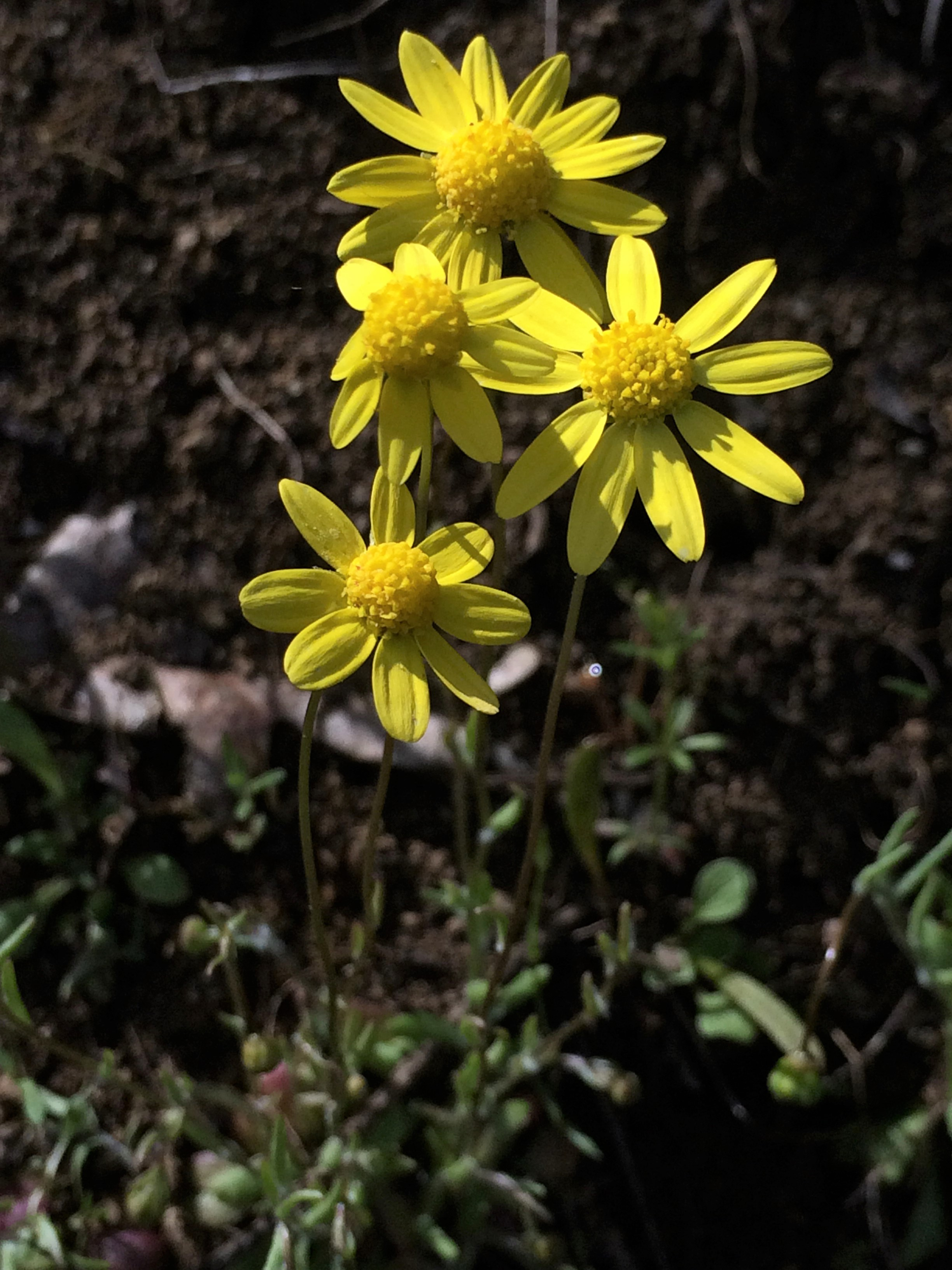 3Crocidium_multicaule
