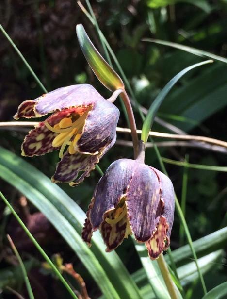 4Fritillaria_affinis