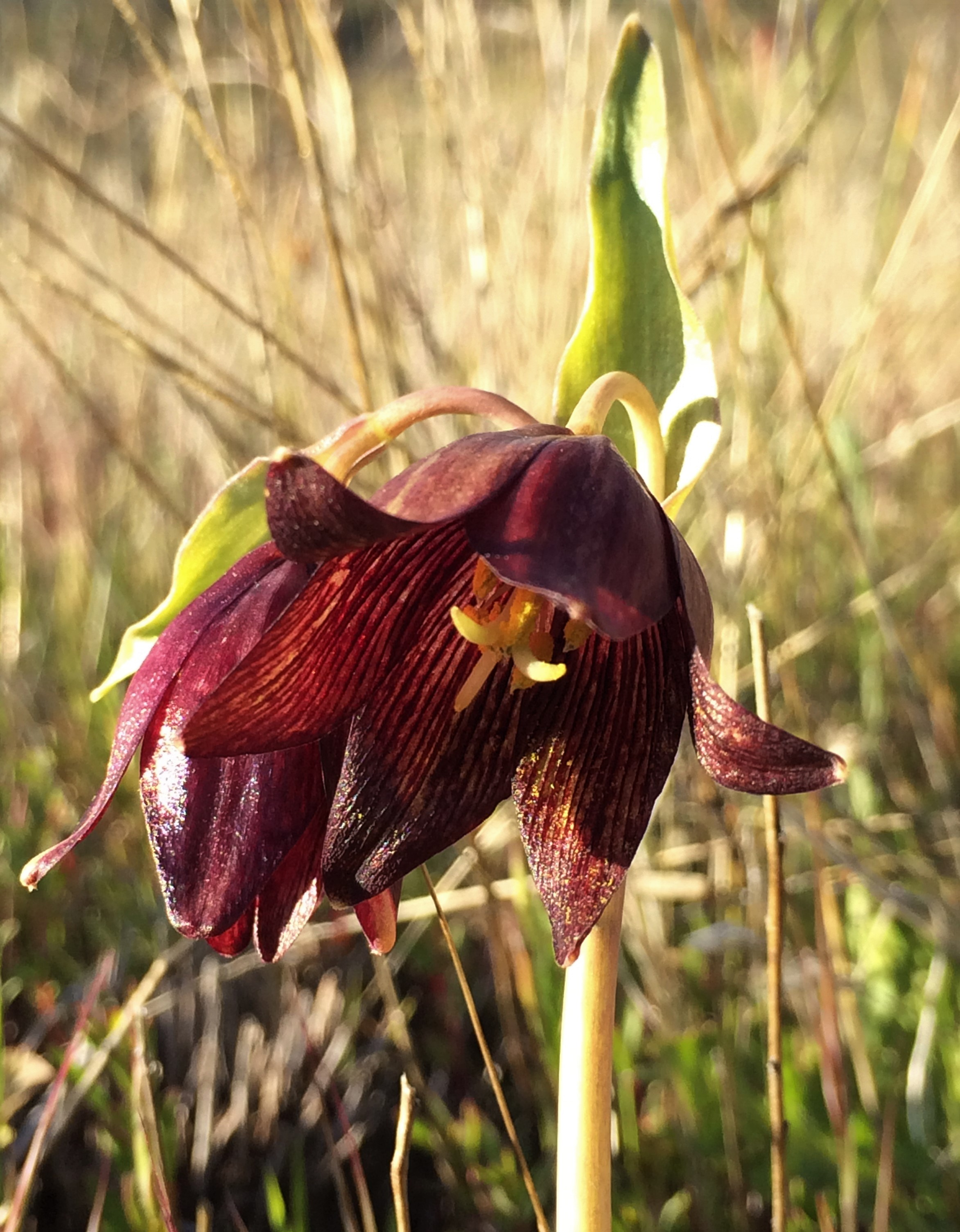 4Fritillaria_biflora_2