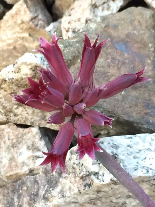 Allium_monticola_1
