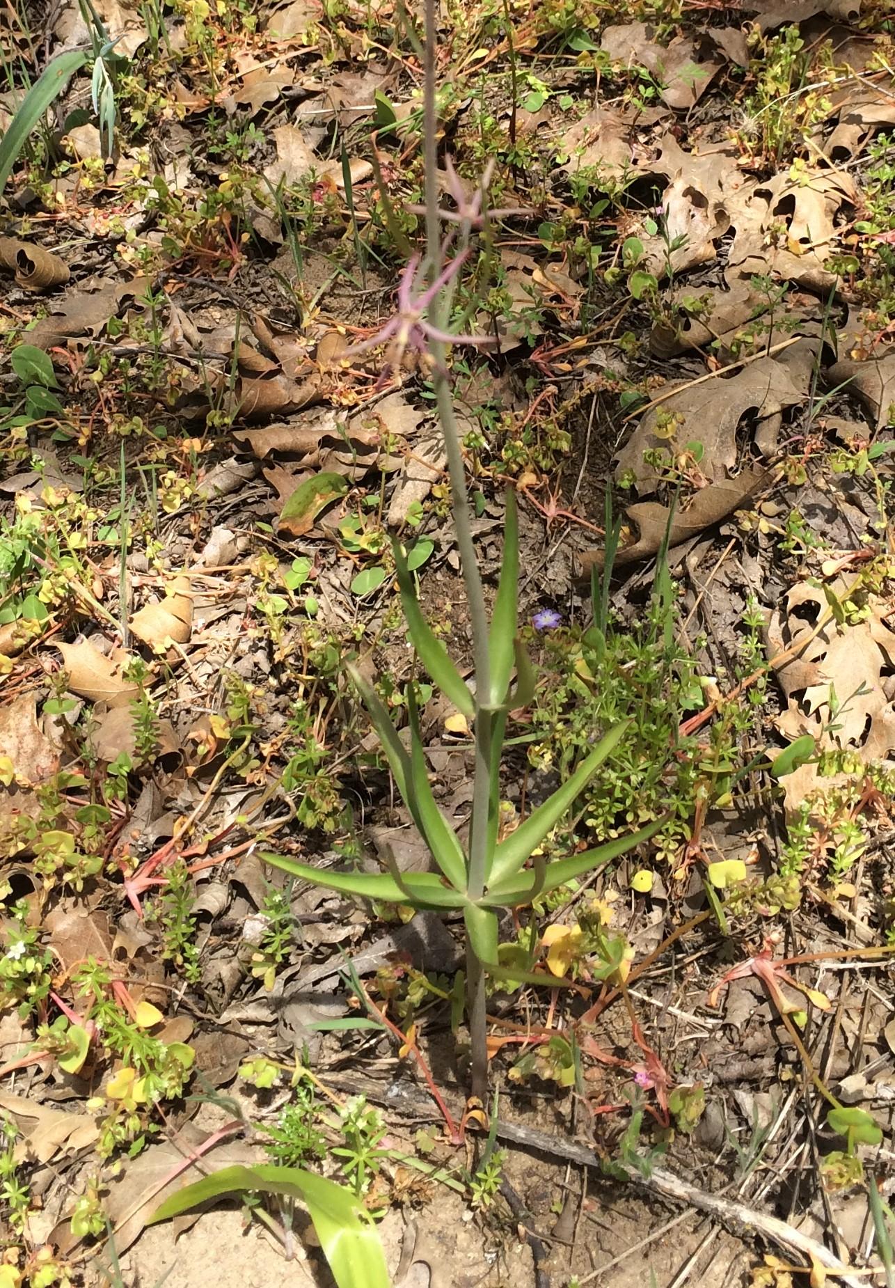 Fritillaria_brandegeei_2
