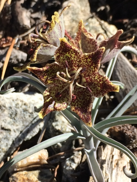 Fritillaria_pinetorum