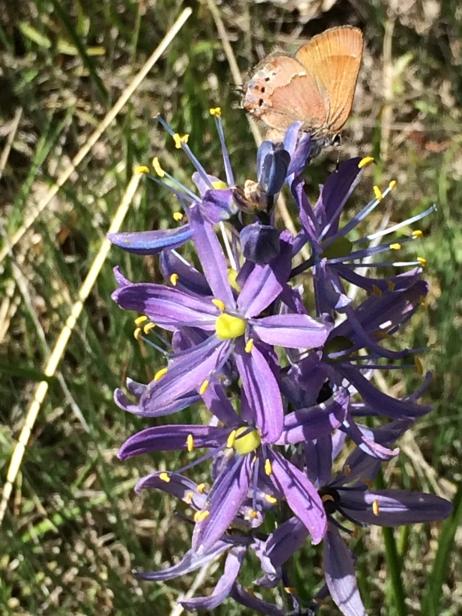 3Camassia_leihtlini_and_Callophrys_gryneus