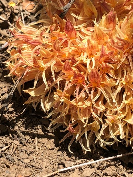 Aphyllon_californicum(orobanche)_2